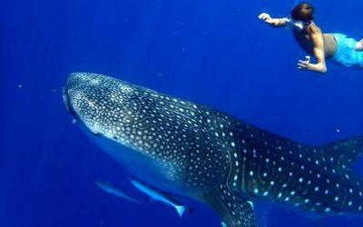 Requins baleies à Nosy Be