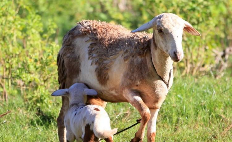 Mouton de nosy be