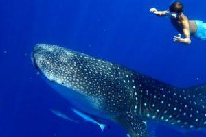 Baleines et Requins baleines